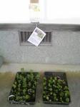 kouraika-sodatete2010081506570000.jpg